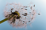 Dandelion: ready, to fly away