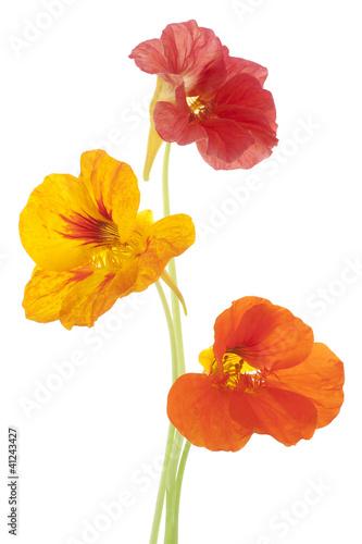 Cadres-photo bureau Fleuriste nasturtium