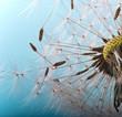 canvas print picture - Abflug / Flugschirme der Pustblume beim Start