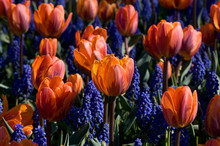 Orange Tulips Amongst Blue Gra...