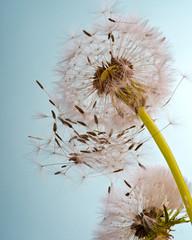 Fototapeta Dmuchawce Pusteblume im Frühling .... Flugschirmchen beim Abflug