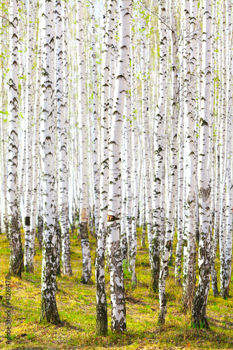 Spring in birch forest