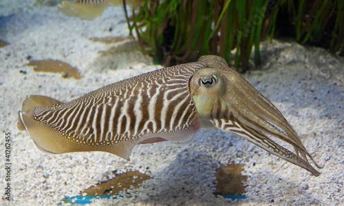Fotografie, Obraz  Cuttlefish