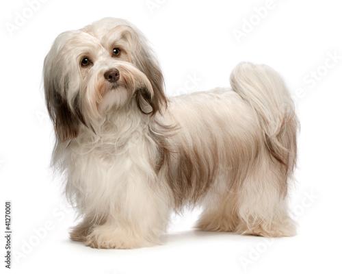 Beautiful standing chocolate Havanese dog Canvas Print