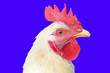 Leinwanddruck Bild - cock