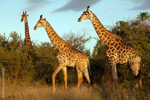 Poster Giraffe Giraffenherde