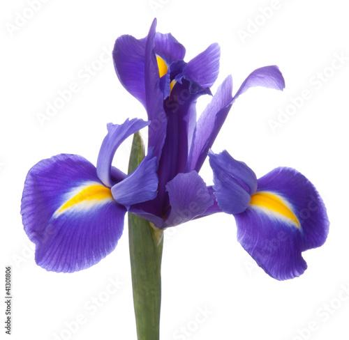 Poster Iris Blue iris or blueflag flower