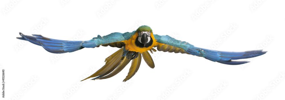Fototapety, obrazy: Portrait of Blue and Yellow Macaw, Ara Ararauna, flying