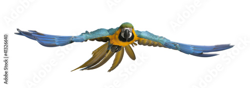 Ingelijste posters Vogel Portrait of Blue and Yellow Macaw, Ara Ararauna, flying