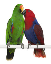 Male And Female Eclectus Parro...