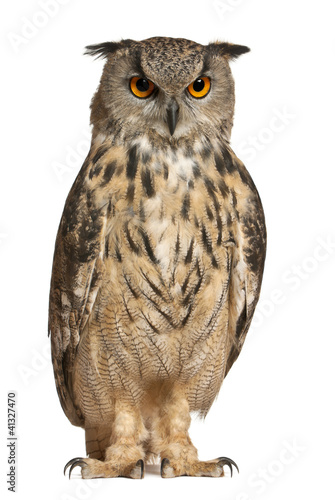 Deurstickers Uil Eurasian Eagle-Owl, Bubo bubo, a species of eagle owl