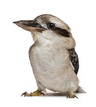Laughing Kookaburra, Dacelo No...