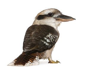 Portrait of Laughing Kookaburra, Dacelo novaeguineae