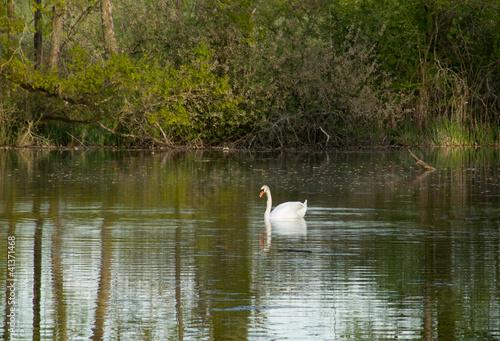 Foto auf Acrylglas Schwan Cygne dans le marais