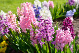 Blooming colorful pink, blue and purple hyacinth flowers close-up. Green summer garden. Panoramic image. Nature, gardening, floristic, landscape design