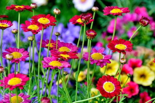 Fotorollo basic - Chrysanthemen (von Stefan Körber)
