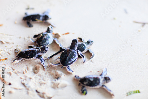 Poster Tortue Baby green turtles