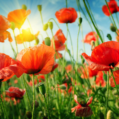 Obraz poppies field in rays sun
