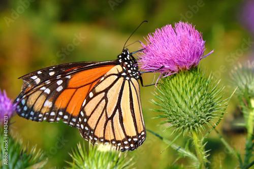 Fotografie, Obraz  Monarch Butterfly (Danaus plexippus)