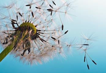 Obraz na Szkle Dmuchawce Dandelion: We fly away to fulfill wishes