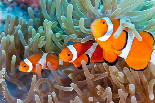 Photo sur Aluminium Sous-marin Clownfish