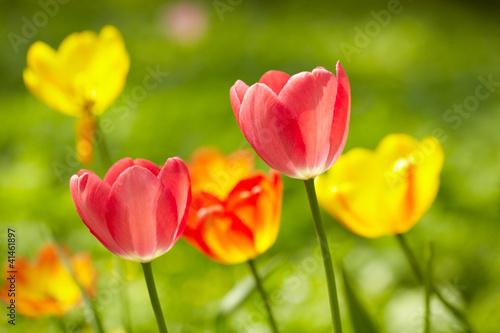 Fototapety, obrazy: Tulips background