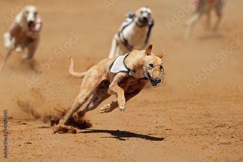 Sprinting greyhounds Fototapeta