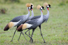 Four Grey Crowned-Cranes In Courtship Dancing.