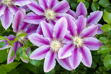 Flowers Of Clematis Over Green...