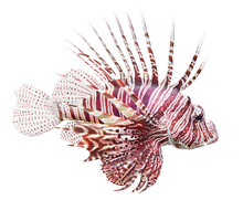 The Red Lionfish (Pterois Voli...