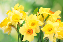Beautiful Yellow Daffodils  On...