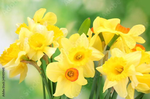 beautiful yellow daffodils on green background