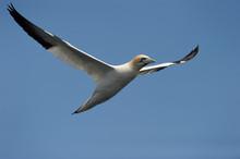Gannet Flying Against Blue Sky