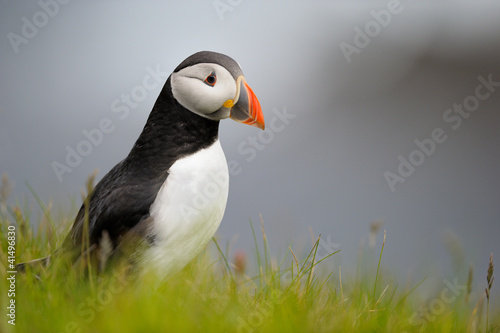 Papel de parede  Puffin standing in grass on a cliff