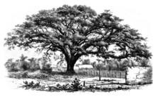 Humboldt Tree - Zamang De Guëre