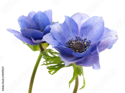 Canvas Print flowers of anemone