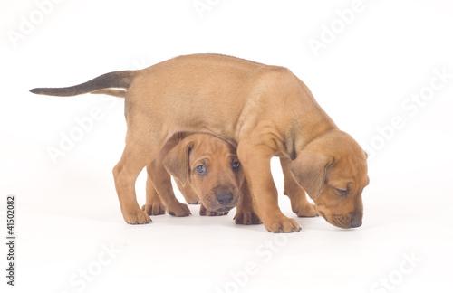 Two Rhodesian Ridgeback Puppies Playing Over White