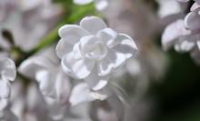White Syringa