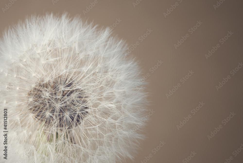 Fototapety, obrazy: soft dandelion