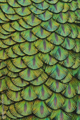 Fotografie, Obraz  feathers of a peacock