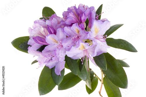 Türaufkleber Azalee Pink rhododendron, azalea
