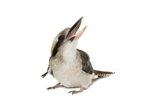 Kookaburra (genus Dacelo) Laughing On White Background.