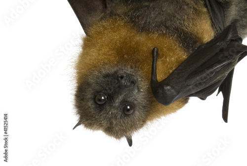 Fotografie, Obraz  Fruit bat (flying fox) hanging upside down on white background.