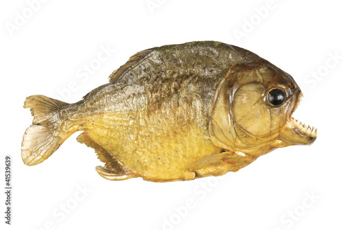 Photo  Red Belly Piranha on white background