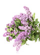 beautiful lilac flowers isolated on white.