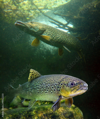 The brown trout (Salmo trutta) and a big pike (Esox lucius). Fototapeta