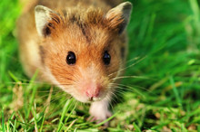 Hamster On The Grass