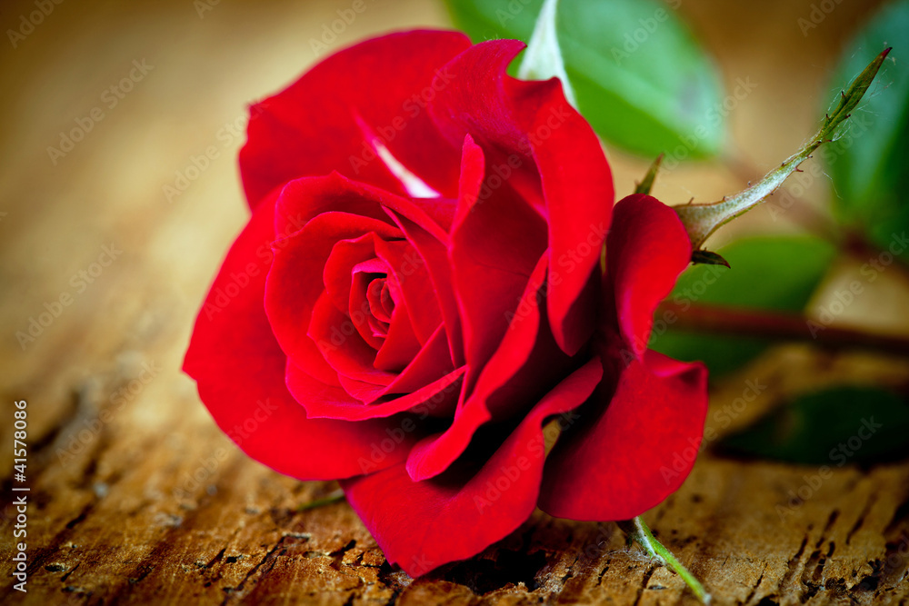 Fototapety, obrazy: rosa rossa close up