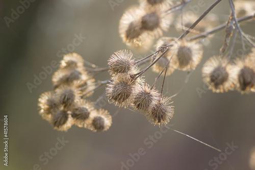 lopian-arctium-lappa-bur-suchy-kluski-w-sieci-o-swicie-spri