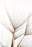 Wet dandilions - 41584093